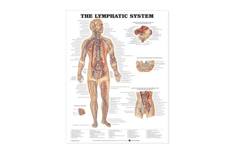 Lymfatický systém 50,8x66cm