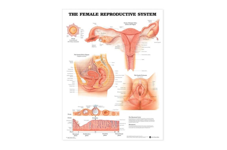 Reprodukční systém - ženy 50,8x66cm