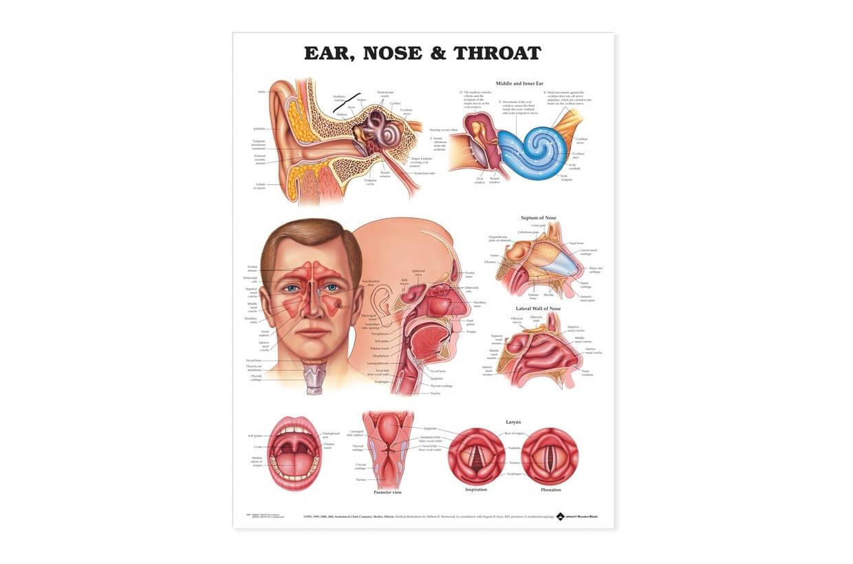 Ucho, nos a hrdlo 50,8x66cm