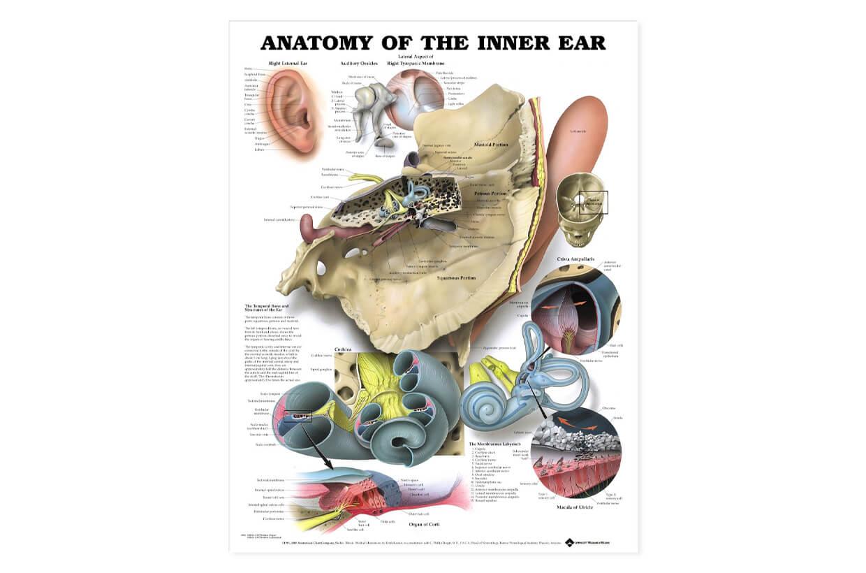 Vnitřní ucho - anatomie 50,8x66cm