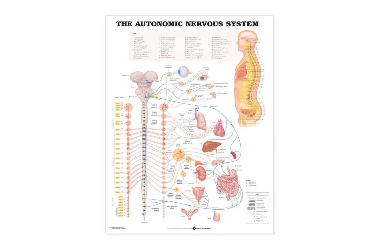 Autonomní nervový systém 50,8x66cm