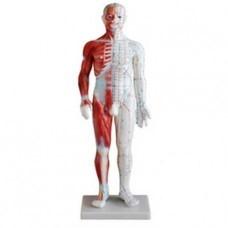 Akupunkturní model muže se svaly, výška 60 cm