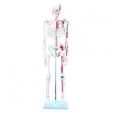 Kostra s barevně vyznačenými svaly, výška 85 cm