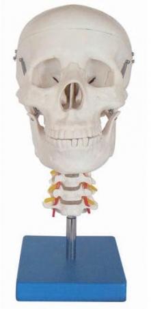 Lebka s krční páteří v životní velikosti