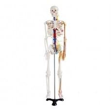 Středně velká kostra s nervy a cévami, výška 85 cm