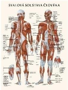 Svalová soustava člověka 47x63cm