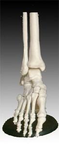 Životní velikost kloubu nohy