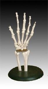 Životní velikost kloubu ruky